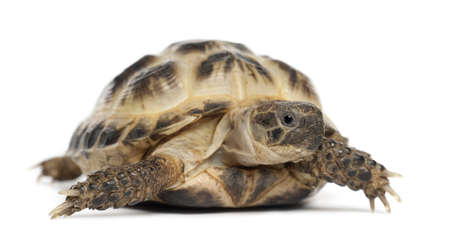 Young Russian tortoise, Horsfields tortoise or Central Asian tortoise, Agrionemys horsfieldii, against white background photo