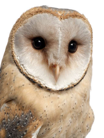 Barn Owl, Tyto alba, 4 months old, portrait and close up against white background photo