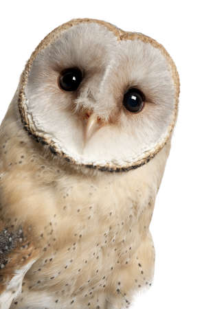 alba: Barn Owl, Tyto alba, 4 months old, portrait and close up against white background Stock Photo