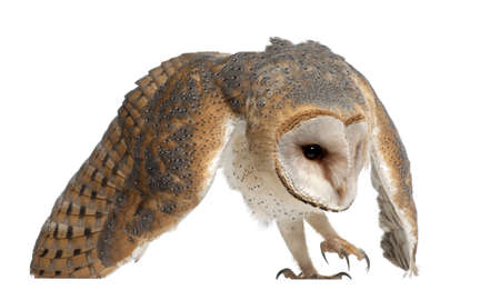 Barn Owl, Tyto alba, 4 months old, against white background photo