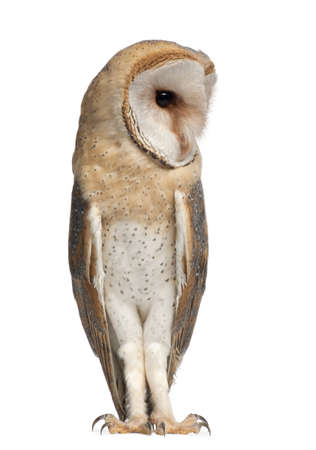 Barn Owl, Tyto alba, 4 months old, standing against white background photo
