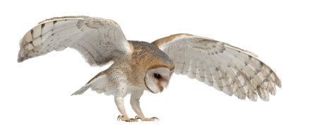 Barn Owl, Tyto alba, 4 months old, flying against white background Stock Photo