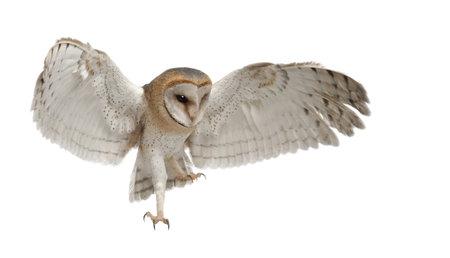 pajaros volando: Lechuza com�n, Tyto alba, 4 meses de edad, volando contra el fondo blanco Foto de archivo