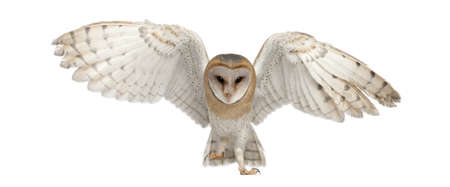bird view: Barn Owl, Tyto alba, 4 months old, portrait flying against white background