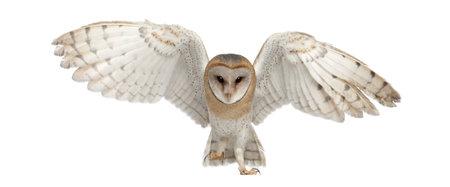 vol d oiseaux: Effraie des clochers, Tyto alba, 4 mois, portrait de vol contre un fond blanc
