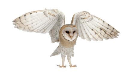 sowa: Barn Owl, Tyto alba, w wieku 4 miesięcy, pod białym tle Zdjęcie Seryjne