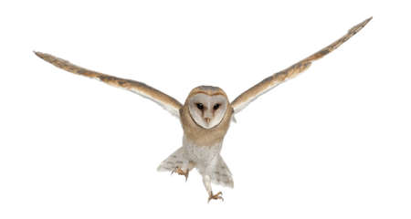 alba: Barn Owl, Tyto alba, 4 months old, portrait flying against white background