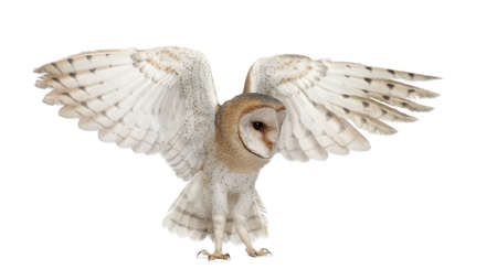 air animals: Barn Owl, Tyto alba, 4 months old, flying against white background Stock Photo