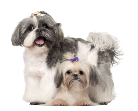 9 months: Shih Tzu, 3 years old and 9 months old, standing against white background Stock Photo