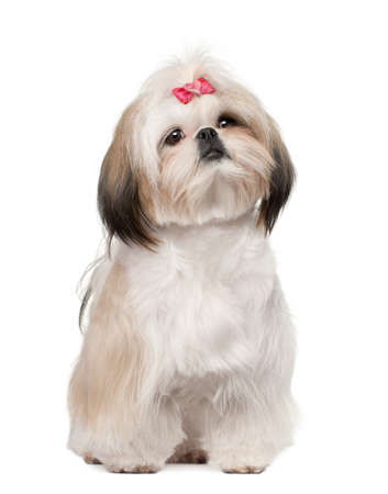 Shih Tzu sitting against white background photo