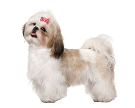 Shih Tzu standing against white background photo
