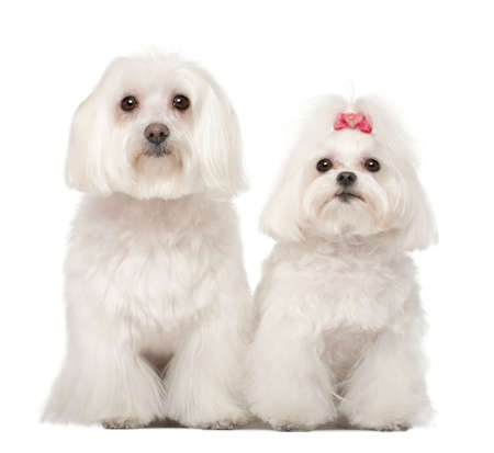 8 years old: Two Maltese, 4 and 8 years old, standing against white background