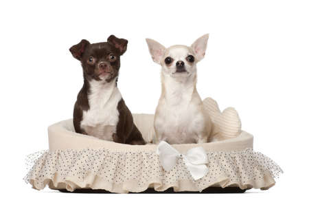 Chihuahuas, 2 and 4 years old, sitting in dog basket against white background photo