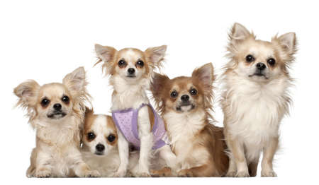 Chihuahuas, 10 months and 3 years old, sitting against white background photo