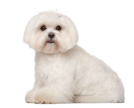 maltese dog: Maltese, 1 year old, sitting against white background