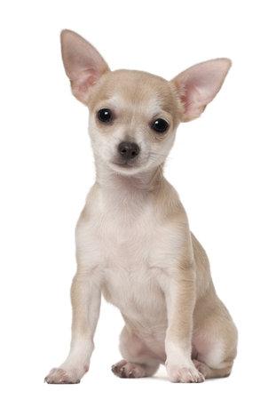 3 か月古い、白い背景に座ってチワワ子犬 写真素材