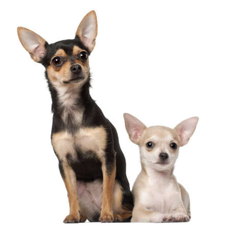 chihuahua 3 months old: Chihuahua puppy, 3 months old and a 1 year old, sitting against white background Stock Photo