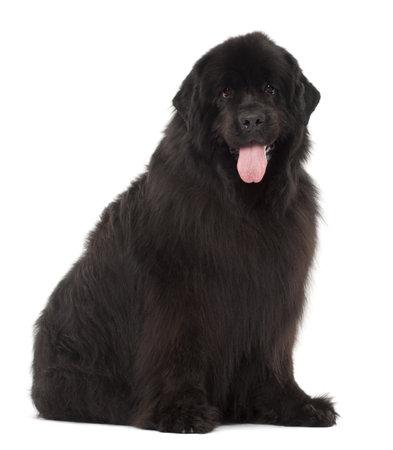 newfoundland dog: Newfoundland, 4 years old, sitting against white background