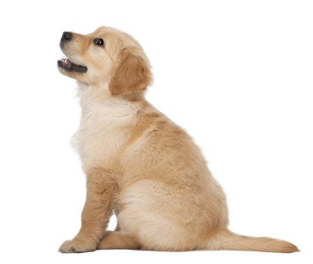 golden retriever: Golden Retriever puppy, 2 months old, sitting against white background
