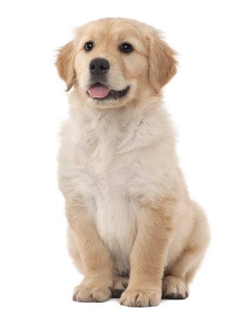 Cachorro de golden retriever, 2 meses de edad, sentado contra el fondo blanco