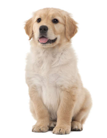 Golden Retriever puppy, 2 months old, sitting against white background photo