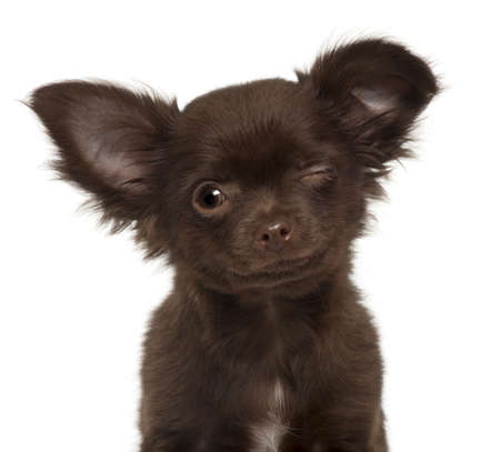winking: Chihuahua puppy, 3 months old, winking against white background