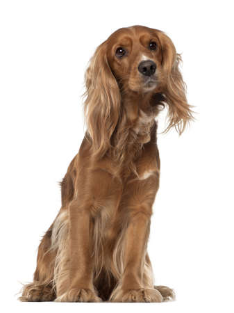 English Cocker Spaniel, 2 years old, sitting against white background photo