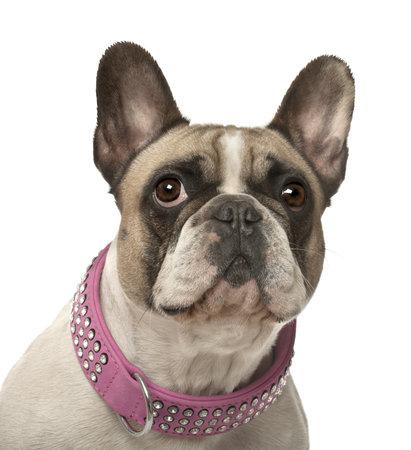 collarin: Bulldog franc�s, 4 a�os de edad, contra el fondo blanco Foto de archivo
