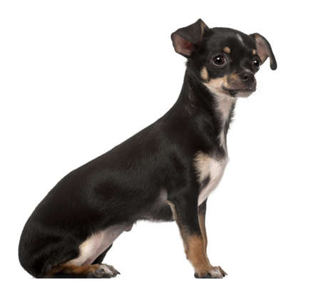 Chihuahua puppy, 4 months old, sitting against white background photo