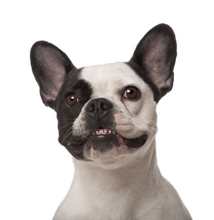 front teeth: French Bulldog, 3 years old, against white background Stock Photo