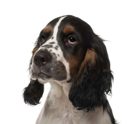 English Cocker Spaniel puppy, 4 months old, against white background photo