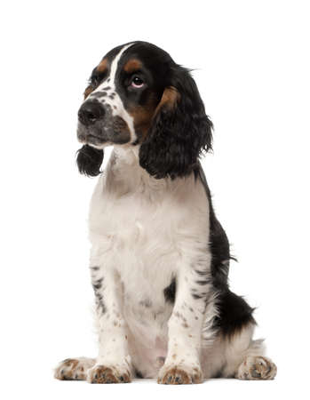 English Cocker Spaniel puppy, 4 months old, sitting against white background photo