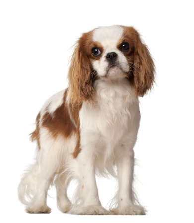 Cavalier King Charles Spaniel, 10 months old, standing against white background photo