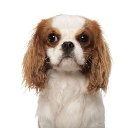 Cavalier King Charles Spaniel, 10 months old, against white background photo