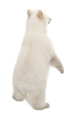 Polar bear cub, Ursus maritimus, 6 months old, standing on hind legs against white background photo
