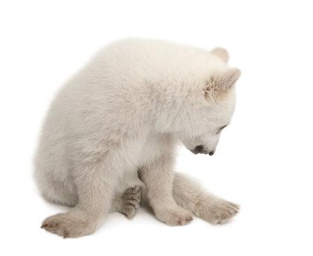 ursus: Polar bear cub, Ursus maritimus, 6 months old, sitting against white background Stock Photo