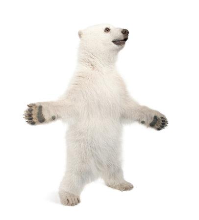 cachorro: Osezno polar, Ursus maritimus, 6 meses de edad, de pie sobre las patas traseras contra el fondo blanco