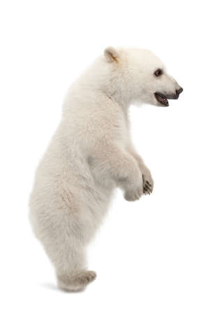 polar bear: Polar bear cub, Ursus maritimus, 6 months old, standing on hind legs against white background