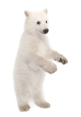 Polar bear cub, Ursus maritimus, 6 months old, portrait against white background photo