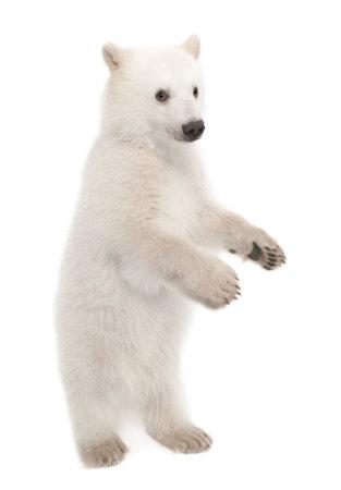 Polar bear cub, Ursus maritimus, 6 months old, portrait against white background Stock fotó
