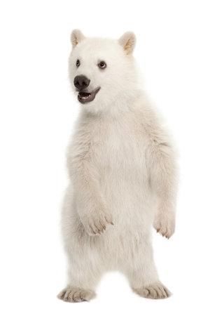 oso: Osezno polar, Ursus maritimus, 6 meses de edad, de pie sobre las patas traseras contra el fondo blanco