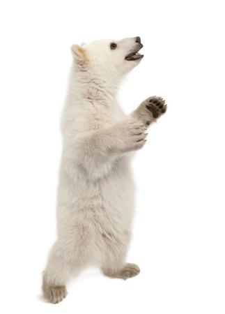 oso blanco: Osezno polar, Ursus maritimus, 6 meses de edad, de pie sobre las patas traseras contra el fondo blanco