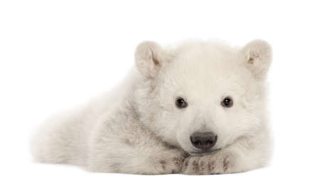 cubs: Polar bear cub, Ursus maritimus, 3 months old, lying against white background Stock Photo