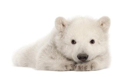 ourson: Polar ourson, Ursus maritimus, âgé de 3 mois, couché contre un fond blanc