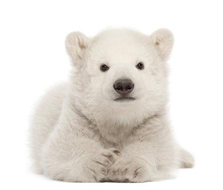 ourson: Ourson polaire, Ursus maritimus, âgé de 3 mois, couché sur le fond blanc Banque d'images