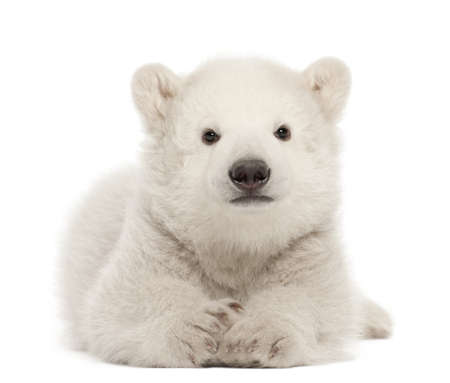 bear cub: Polar bear cub, Ursus maritimus, 3 months old, lying against white background Stock Photo