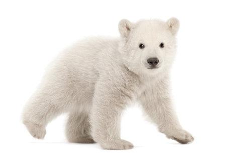 Polar bear cub, Ursus maritimus, 3 months old, walking\ against white background