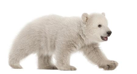 Polar bear cub, Ursus maritimus, 3 months old, walking against white background photo