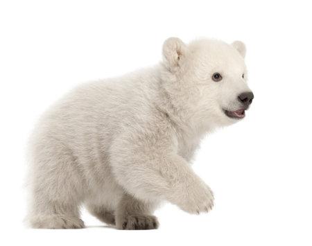 ourson: Ourson polaire, Ursus maritimus, âgé de 3 mois, la marche sur le fond blanc
