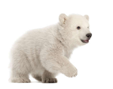 Polar bear cub, Ursus maritimus, 3 months old, walking against white background photo